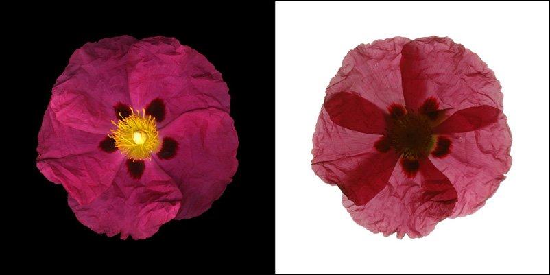 """David Boeno, """"Fleurs De Mon Jardin"""", 2005"""